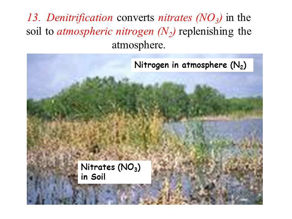 13. Denitrification converts nitrates (NO 3 ) in the soil to atmospheric nitrogen (N 2 ) replenishing the atmosphere. Nitrates (NO 3 ) in Soil Nitroge