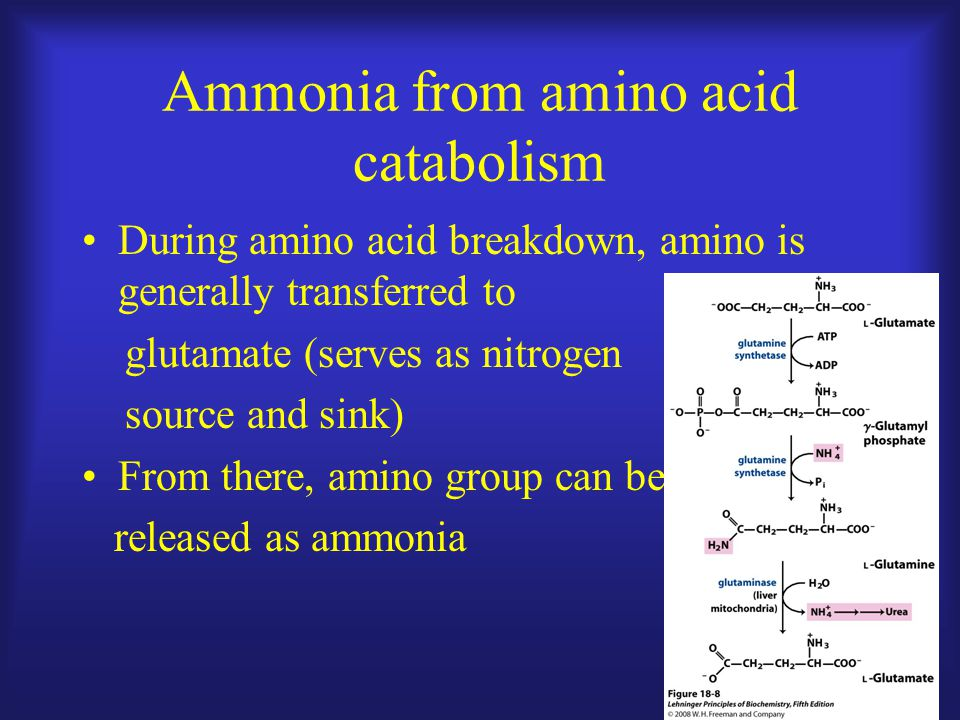 Ammonia from amino acid catabolism During amino acid breakdown, amino is generally transferred to glutamate (serves as nitrogen source and sink) From there, amino group can be released as ammonia
