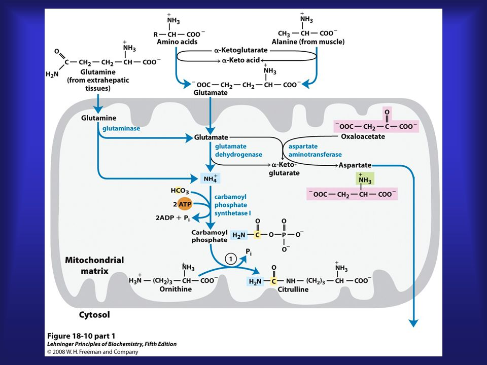 Entering the cycle Ammonia derived from glutamate or glutamine is immediately linked to bicarbonate – catalyzed by carbamoyl phosphate synthetase I (mitochondrial)