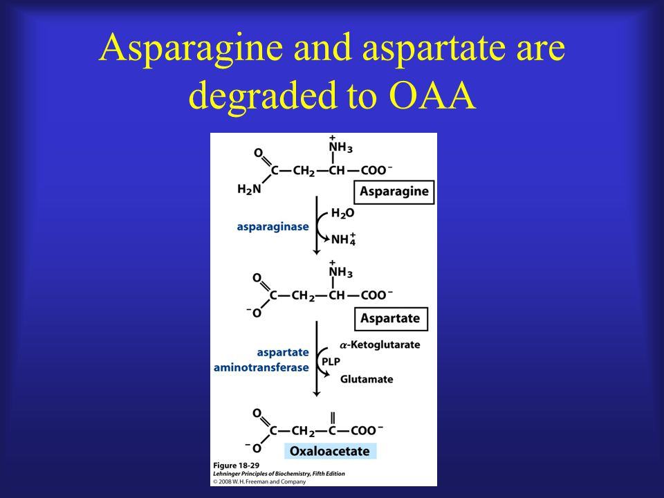 Asparagine and aspartate are degraded to OAA
