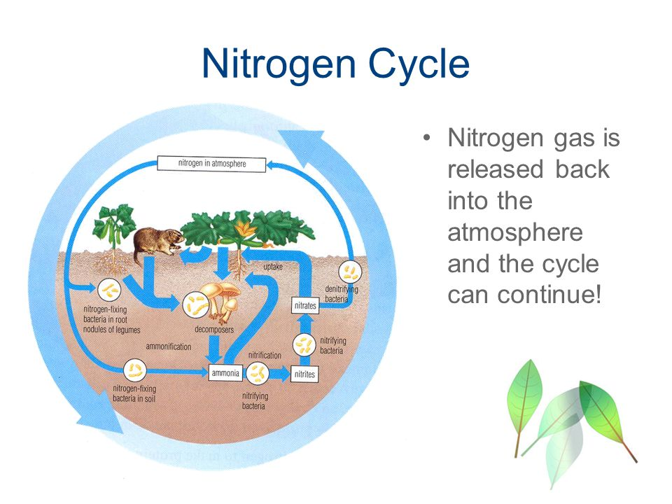Nitrogen Cycle Nitrogen gas is released back into the atmosphere and the cycle can continue!
