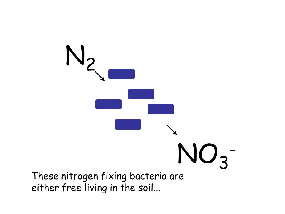 N2N2 These nitrogen fixing bacteria are either free living in the soil... NO 3 -