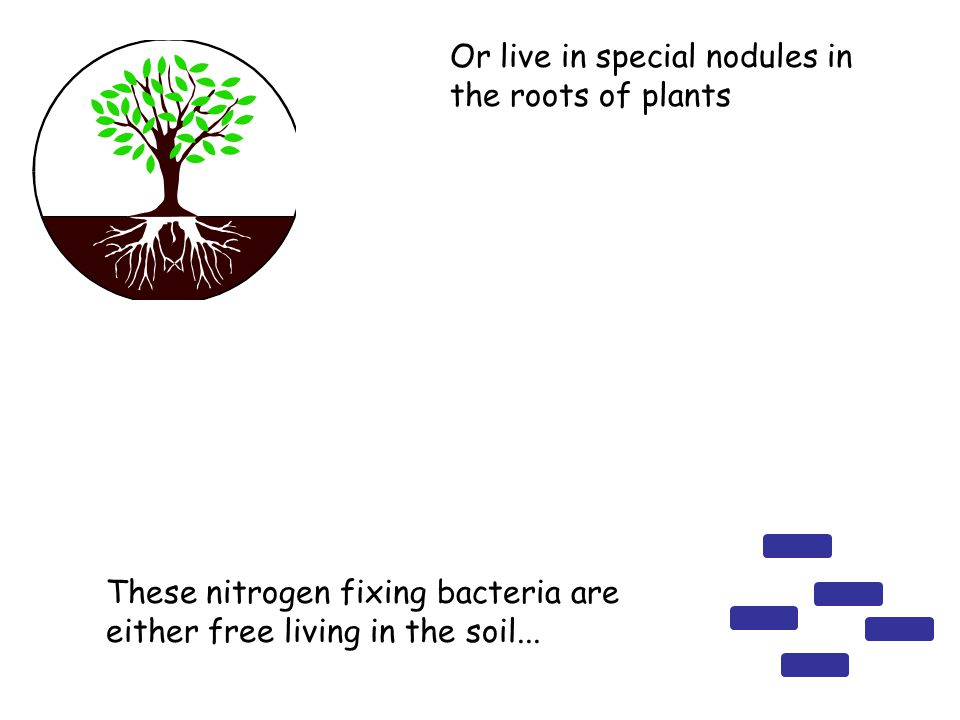 These nitrogen fixing bacteria are either free living in the soil...