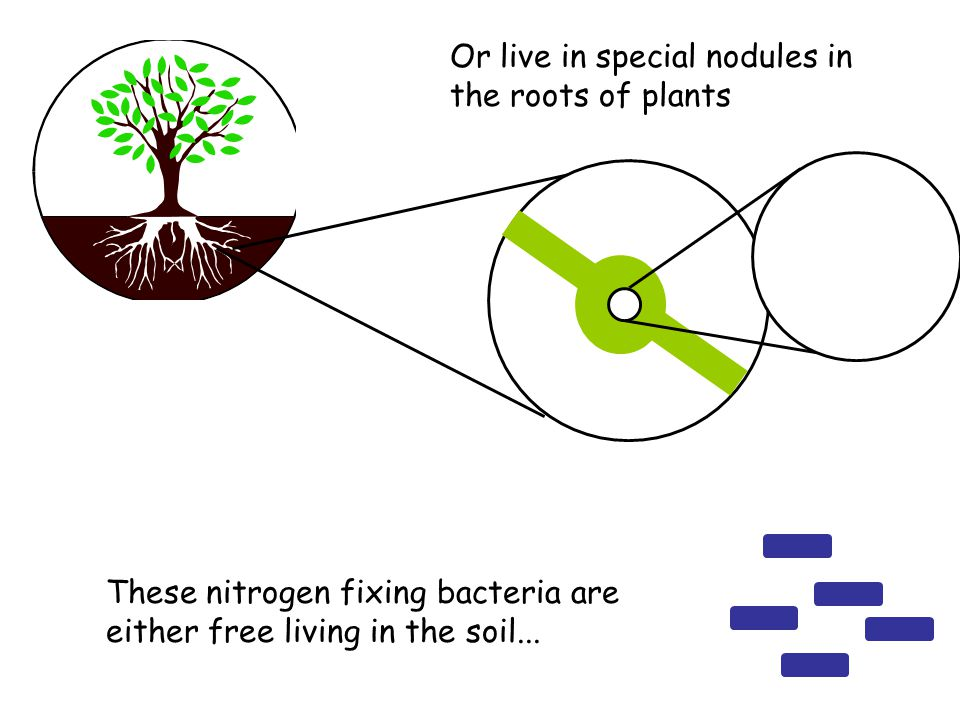 These nitrogen fixing bacteria are either free living in the soil... Or live in special nodules in the roots of plants