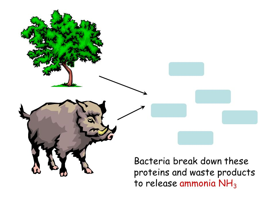 Bacteria break down these proteins and waste products to release ammonia NH 3