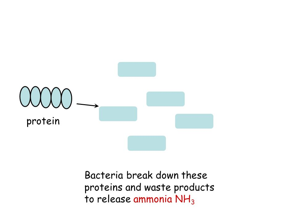 Bacteria break down these proteins and waste products to release ammonia NH 3 protein
