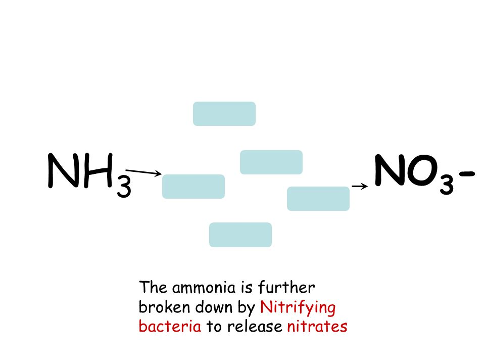 The ammonia is further broken down by Nitrifying bacteria to release nitrates NH 3 NO 3 -
