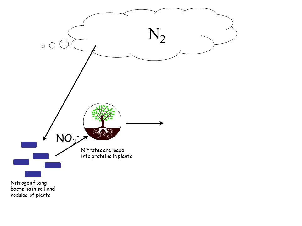 N 2 Nitrogen fixing bacteria in soil and nodules of plants Nitrates are made into proteins in plants NO 3 -