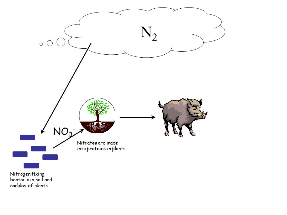 N 2 Nitrogen fixing bacteria in soil and nodules of plants Nitrates are made into proteins in plants NO 3 - Animals get their protein by eating