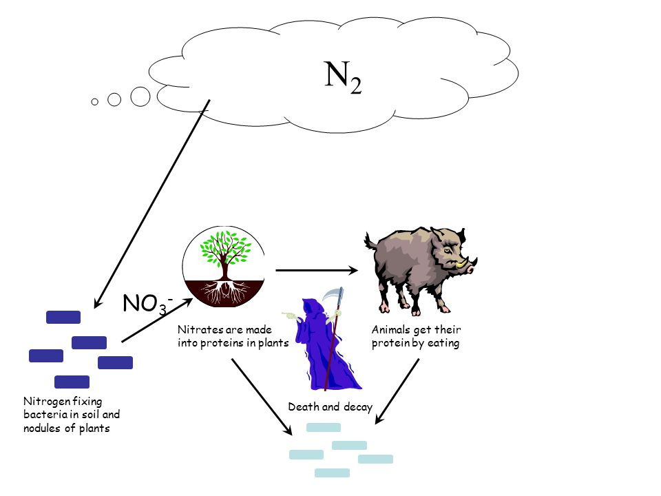N 2 Nitrogen fixing bacteria in soil and nodules of plants Nitrates are made into proteins in plants NO 3 - Animals get their protein by eating Death