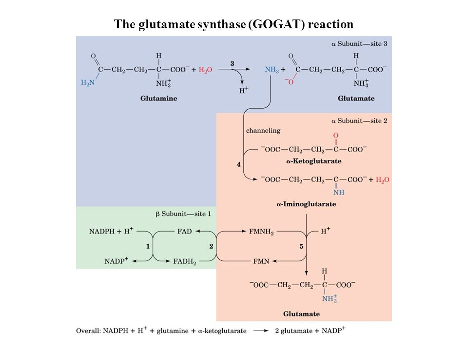 The glutamate synthase (GOGAT) reaction