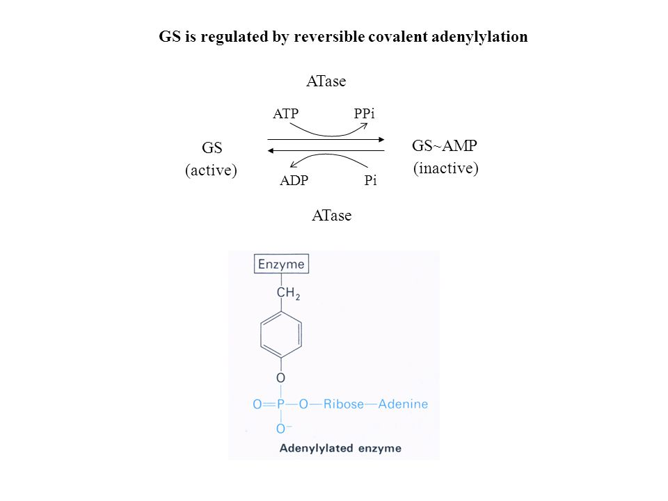 GS is regulated by reversible covalent adenylylation GS (active) GS~AMP (inactive) ATase ATP PPi ADP Pi