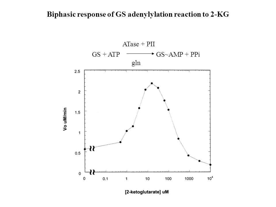 Biphasic response of GS adenylylation reaction to 2-KG GS + ATP GS~AMP + PPi gln ATase + PII