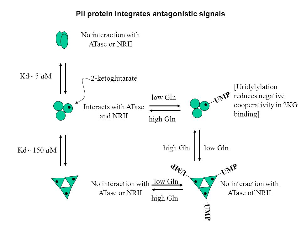 [Uridylylation reduces negative cooperativity in 2KG binding] Kd~ 5  M Kd~ 150  M No interaction with ATase or NRII Interacts with ATase and NRII No interaction with ATase or NRII UMP 2-ketoglutarate low Gln high Gln low Gln high Gln No interaction with ATase of NRII high Glnlow Gln PII protein integrates antagonistic signals