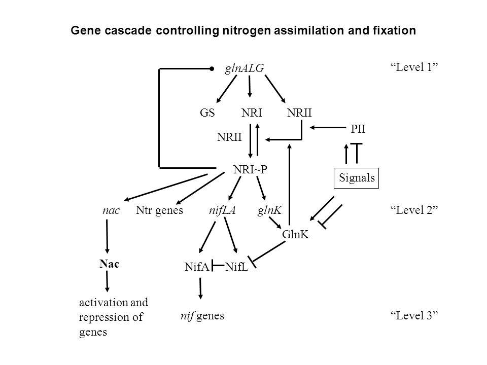 "Gene cascade controlling nitrogen assimilation and fixation glnALG GSNRINRII NRI~P NRII PII glnK GlnK nifLA NifANifL nif genes Ntr genes Signals ""Leve"