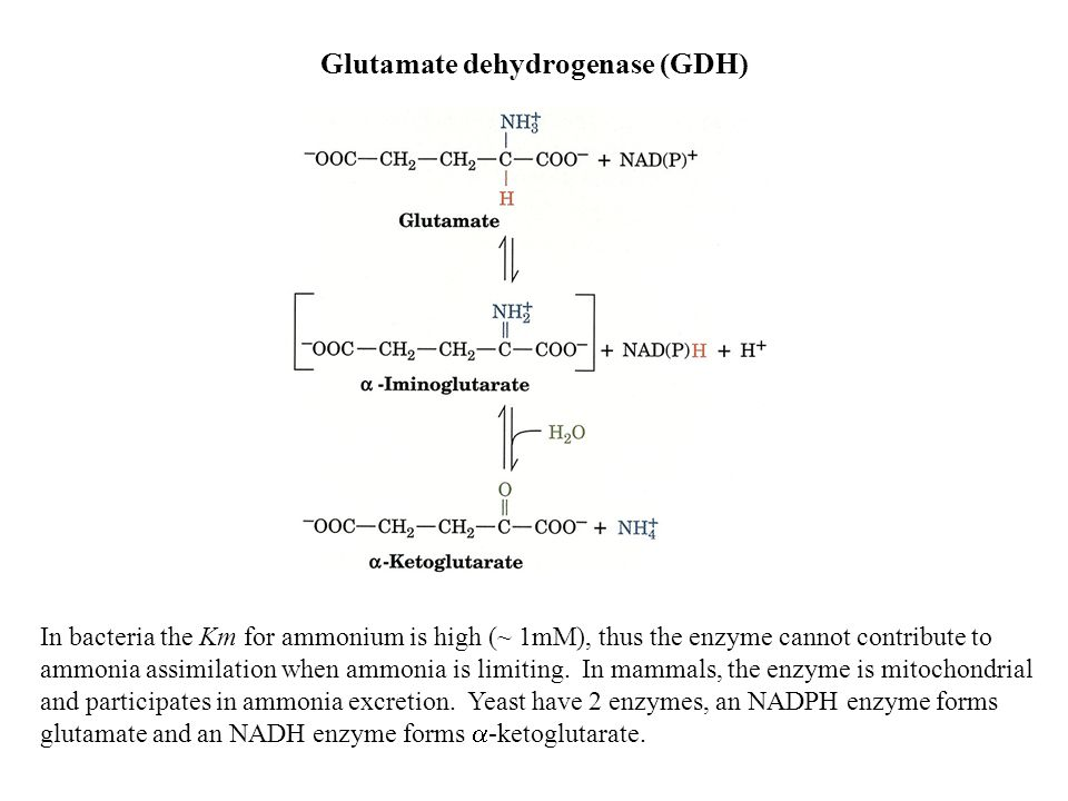 Glutamate dehydrogenase (GDH) In bacteria the Km for ammonium is high (~ 1mM), thus the enzyme cannot contribute to ammonia assimilation when ammonia is limiting.