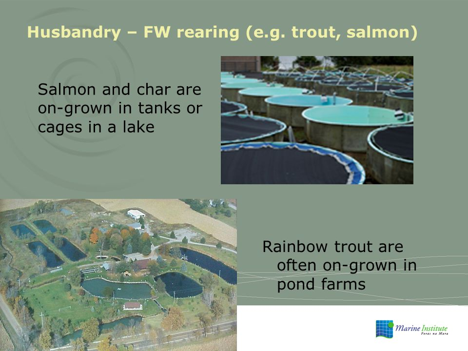 Rainbow trout are often on-grown in pond farms Husbandry – FW rearing (e.g.