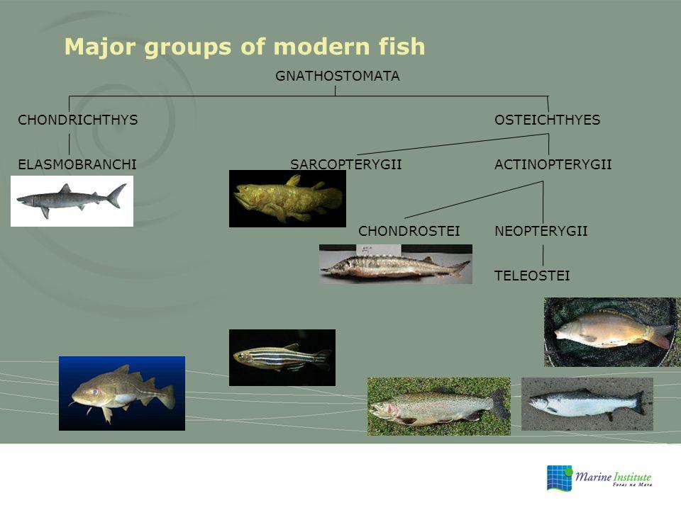 Major groups of modern fish GNATHOSTOMATA CHONDRICHTHYSOSTEICHTHYES ELASMOBRANCHISARCOPTERYGIIACTINOPTERYGII CHONDROSTEINEOPTERYGII TELEOSTEI