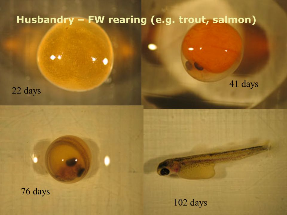 Husbandry – FW rearing (e.g. trout, salmon) 22 days 41 days 76 days 102 days