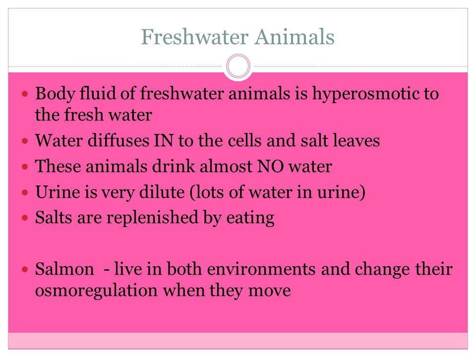 Freshwater Animals Body fluid of freshwater animals is hyperosmotic to the fresh water Water diffuses IN to the cells and salt leaves These animals dr