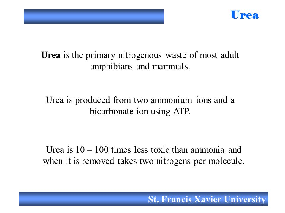 St. Francis Xavier University Urea Urea is the primary nitrogenous waste of most adult amphibians and mammals. Urea is 10 – 100 times less toxic than
