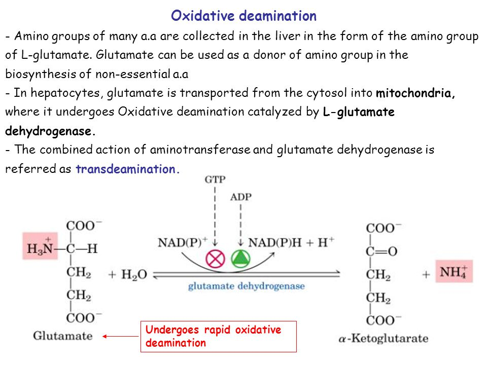 Undergoes rapid oxidative deamination Oxidative deamination - Amino groups of many a.a are collected in the liver in the form of the amino group of L-