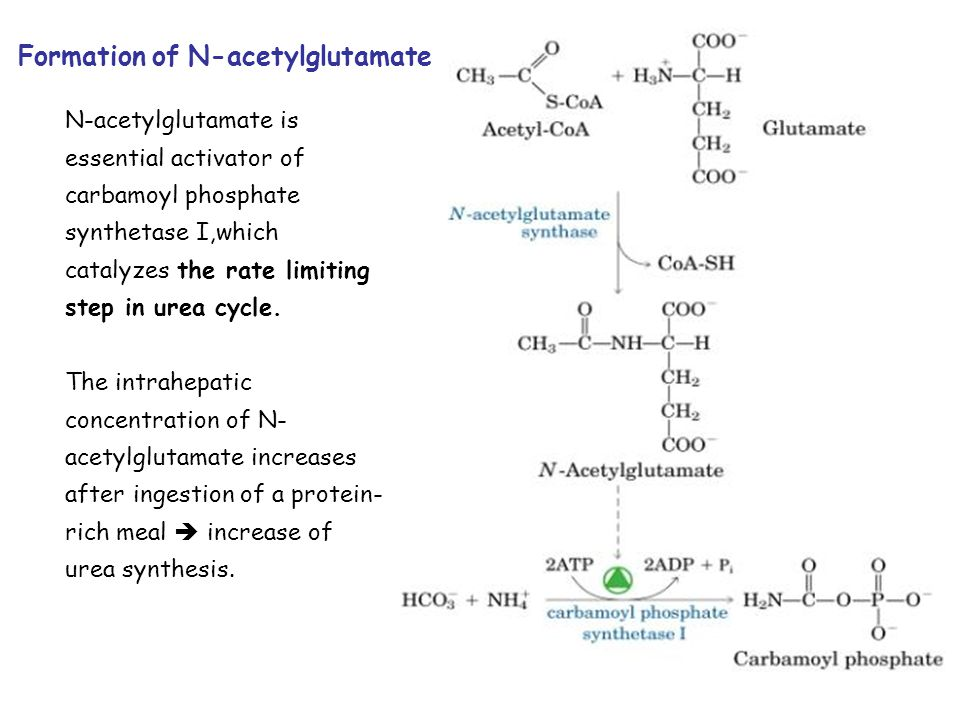 Formation of N-acetylglutamate N-acetylglutamate is essential activator of carbamoyl phosphate synthetase I,which catalyzes the rate limiting step in