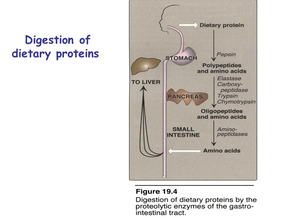 Glucose-alanine cycle Alanine transports ammonia from muscles to liver.