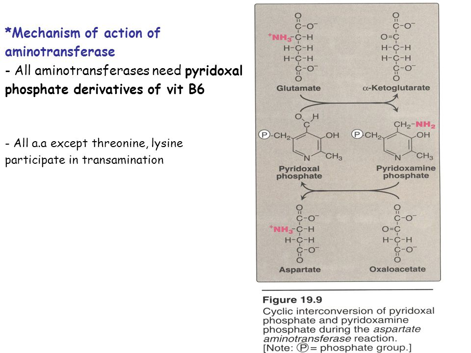 Two important transferases: Alanine aminotransferas (ALT) called also Glutamate – Pyruvate transferase (GPT), found in many tissues catalyzes the transfer of amino gp of alanine to produce pyruvate and glutamate.