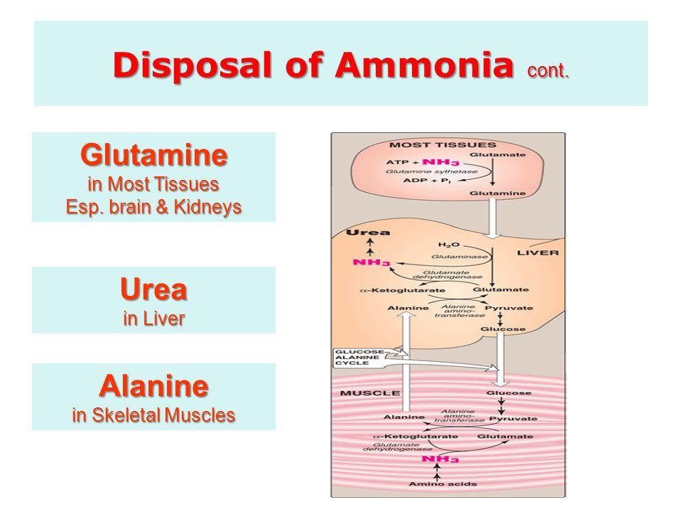 Alanine in Skeletal Muscles Glutamine in Most Tissues Esp. brain & Kidneys Urea in Liver