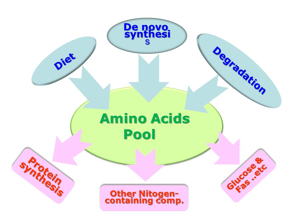 Amino Acids Pool Diet De novo synthesi s Degradation ProteinsynthesisProteinsynthesis Other Nitogen Other Nitogen- containing comp.