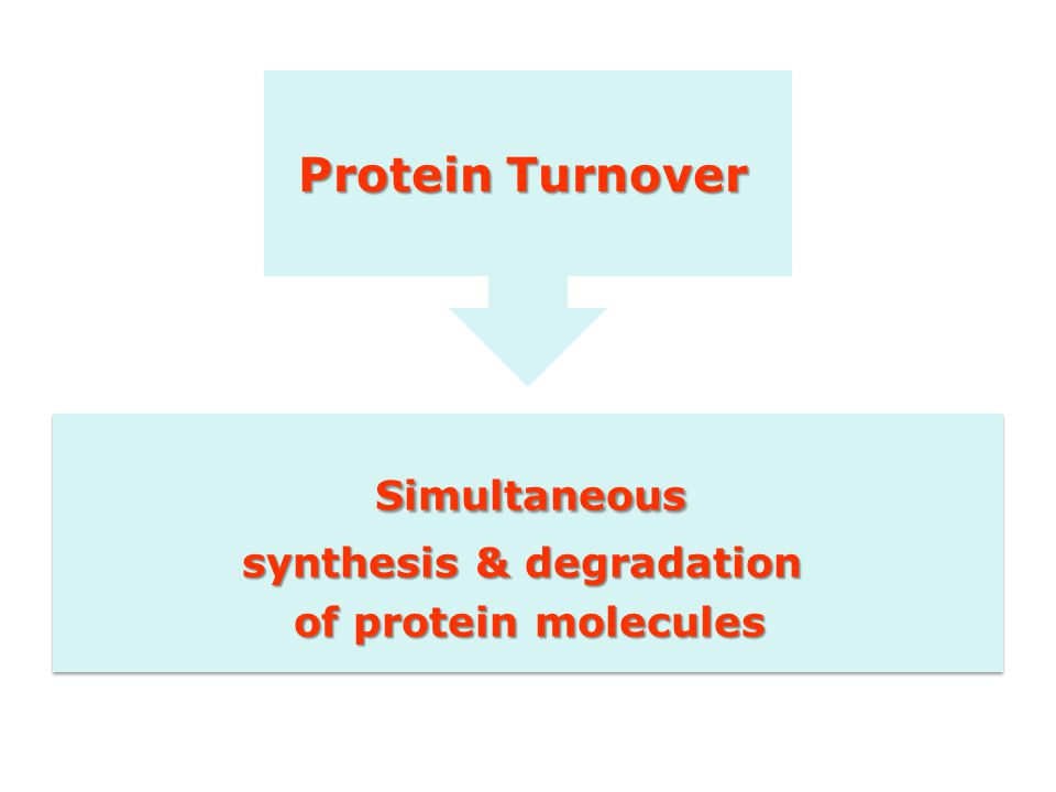 Simultaneous synthesis & degradation of protein molecules Simultaneous synthesis & degradation of protein molecules Protein Turnover