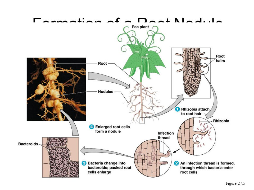 Formation of a Root Nodule Figure 27.5