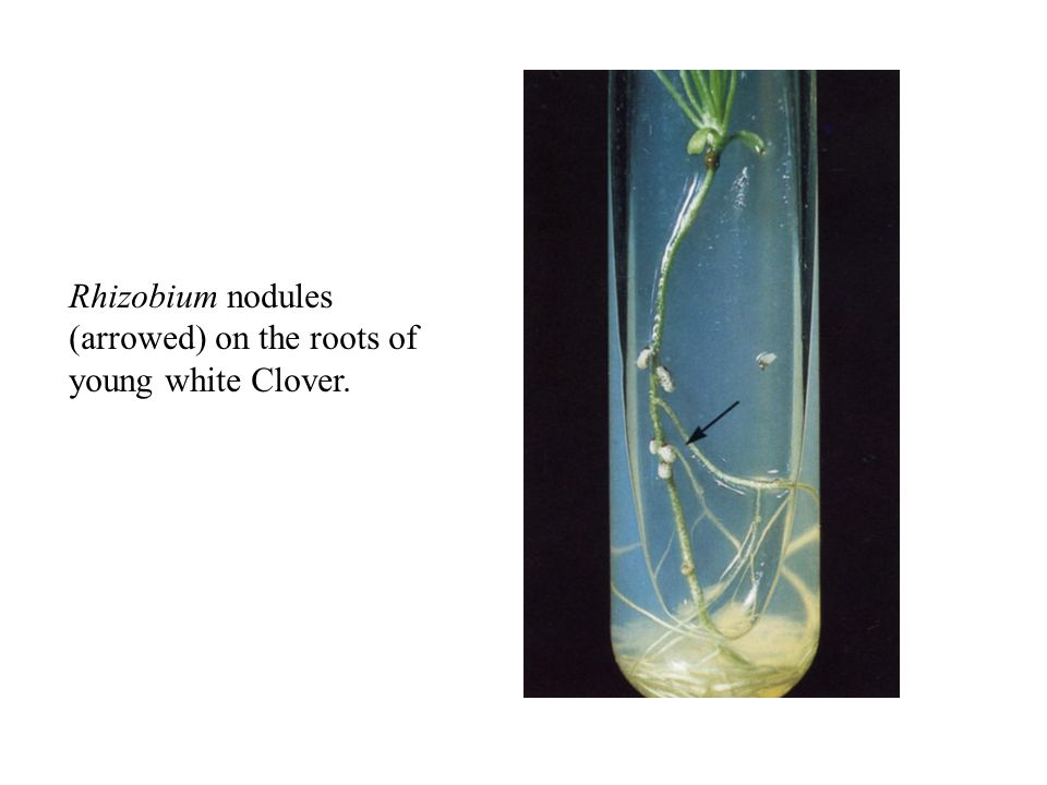 Rhizobium nodules (arrowed) on the roots of young white Clover.
