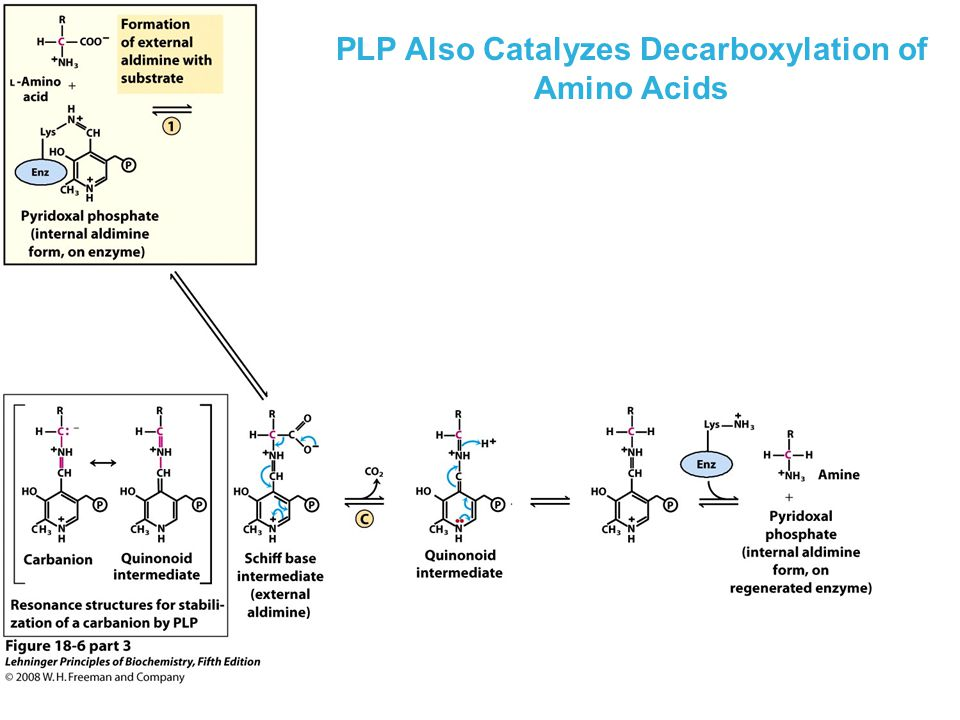 PLP Also Catalyzes Decarboxylation of Amino Acids