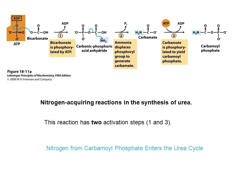 Nitrogen-acquiring reactions in the synthesis of urea.