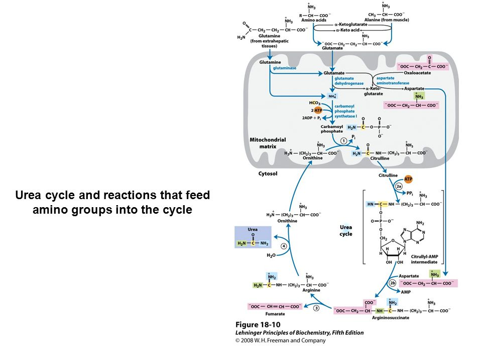 Urea cycle and reactions that feed amino groups into the cycle