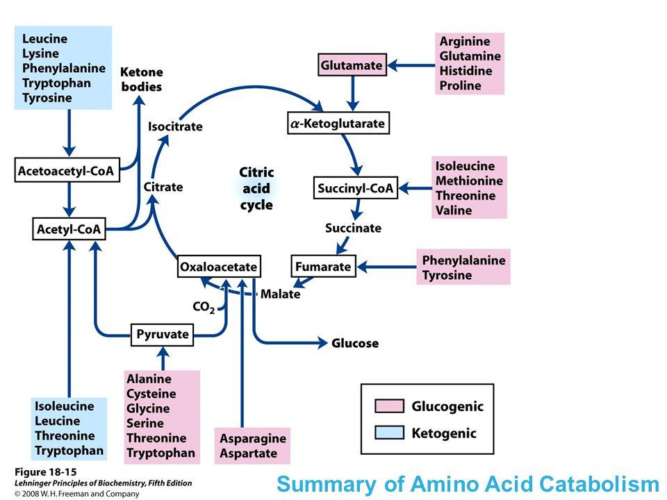 Summary of Amino Acid Catabolism