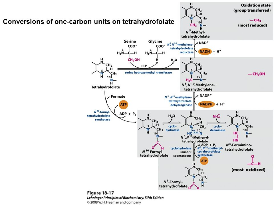 Conversions of one-carbon units on tetrahydrofolate