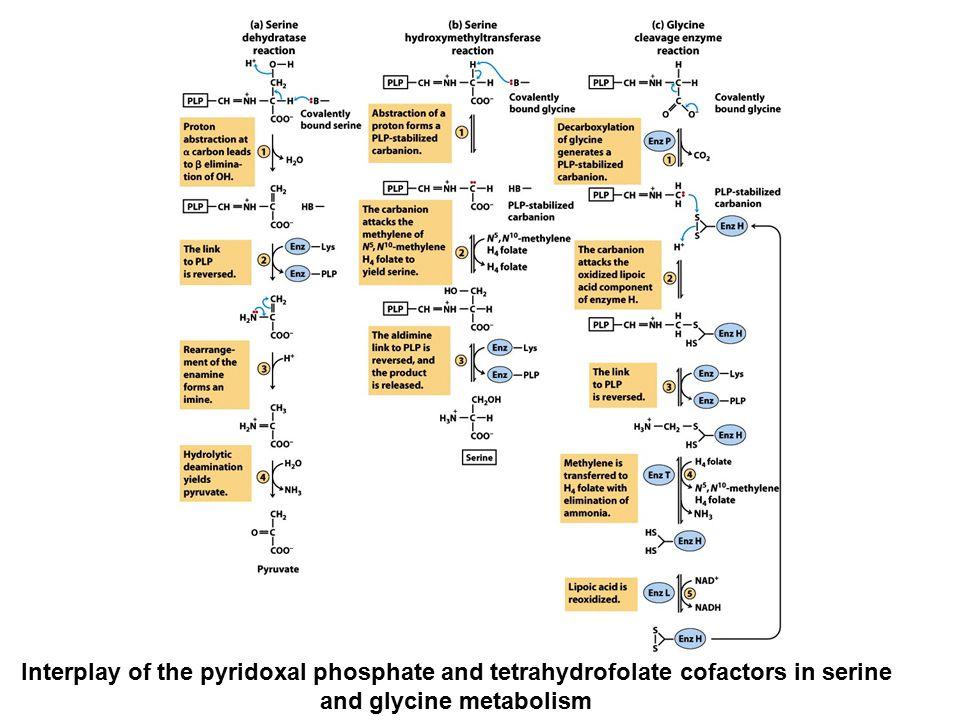 Interplay of the pyridoxal phosphate and tetrahydrofolate cofactors in serine and glycine metabolism