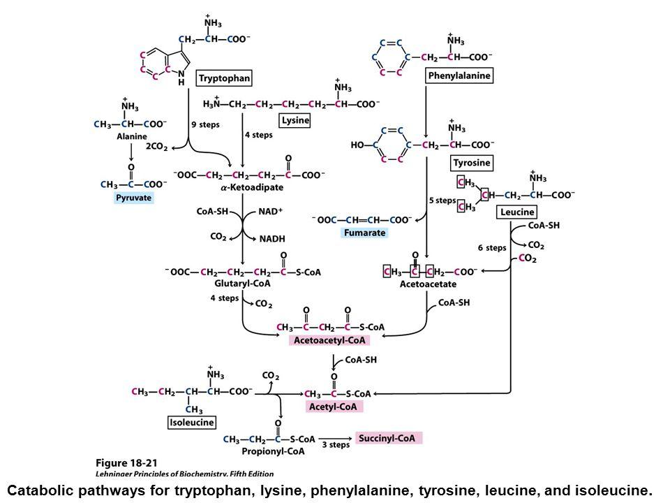 Catabolic pathways for tryptophan, lysine, phenylalanine, tyrosine, leucine, and isoleucine.