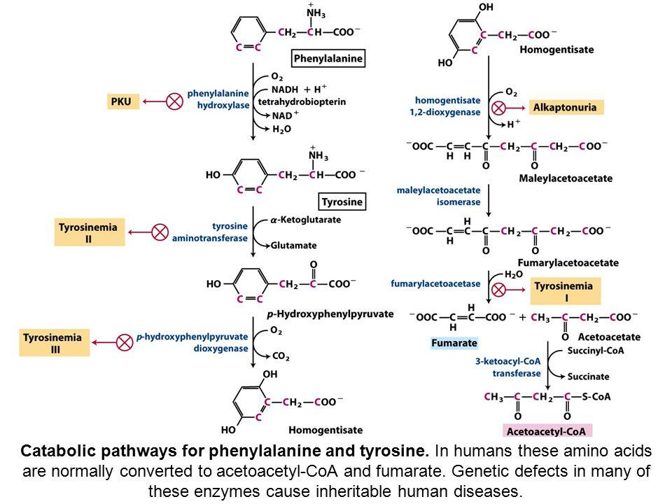 Catabolic pathways for phenylalanine and tyrosine.
