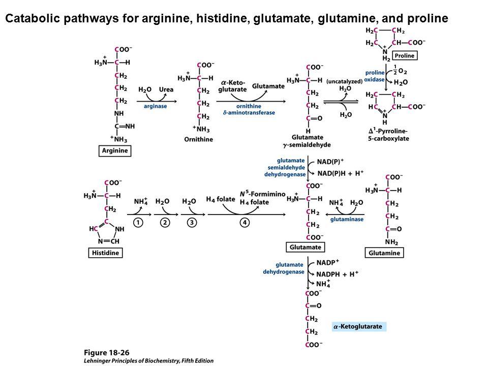 Catabolic pathways for arginine, histidine, glutamate, glutamine, and proline