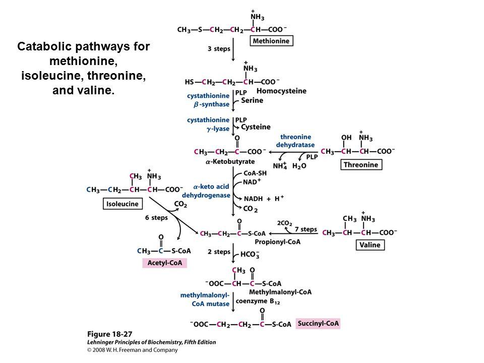 Catabolic pathways for methionine, isoleucine, threonine, and valine.