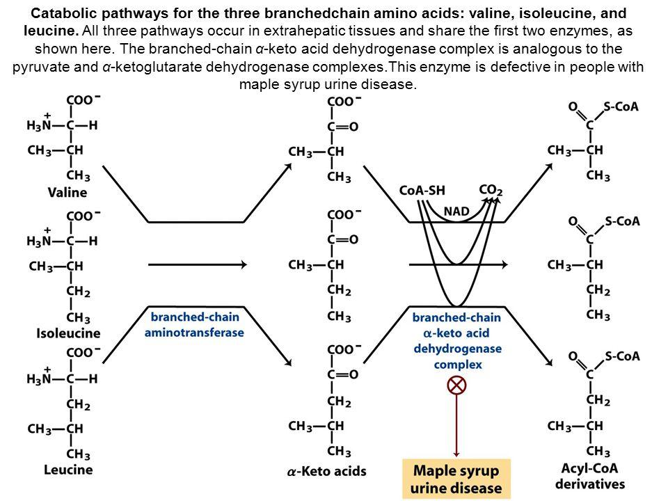 Catabolic pathways for the three branchedchain amino acids: valine, isoleucine, and leucine.