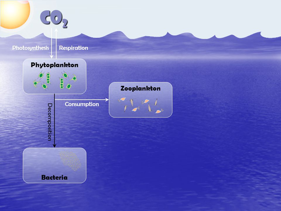 CO 2 Phytoplankton Zooplankton Bacteria ConsumptionDecomposition RespirationPhotosynthesis