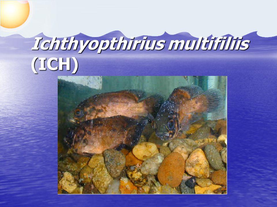 Ichthyopthirius multifiliis (ICH)