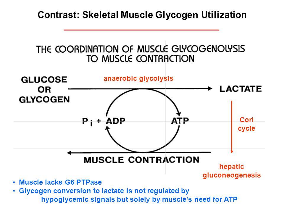Contrast: Skeletal Muscle Glycogen Utilization hepatic gluconeogenesis anaerobic glycolysis Cori cycle Muscle lacks G6 PTPase Glycogen conversion to l