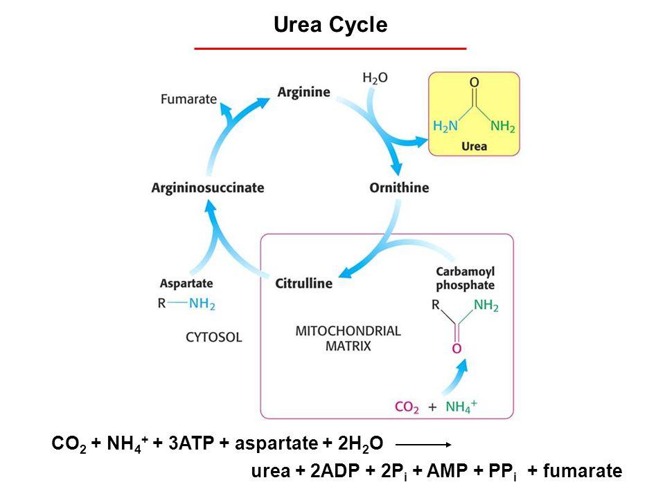 Urea Cycle CO 2 + NH 4 + + 3ATP + aspartate + 2H 2 O urea + 2ADP + 2P i + AMP + PP i + fumarate