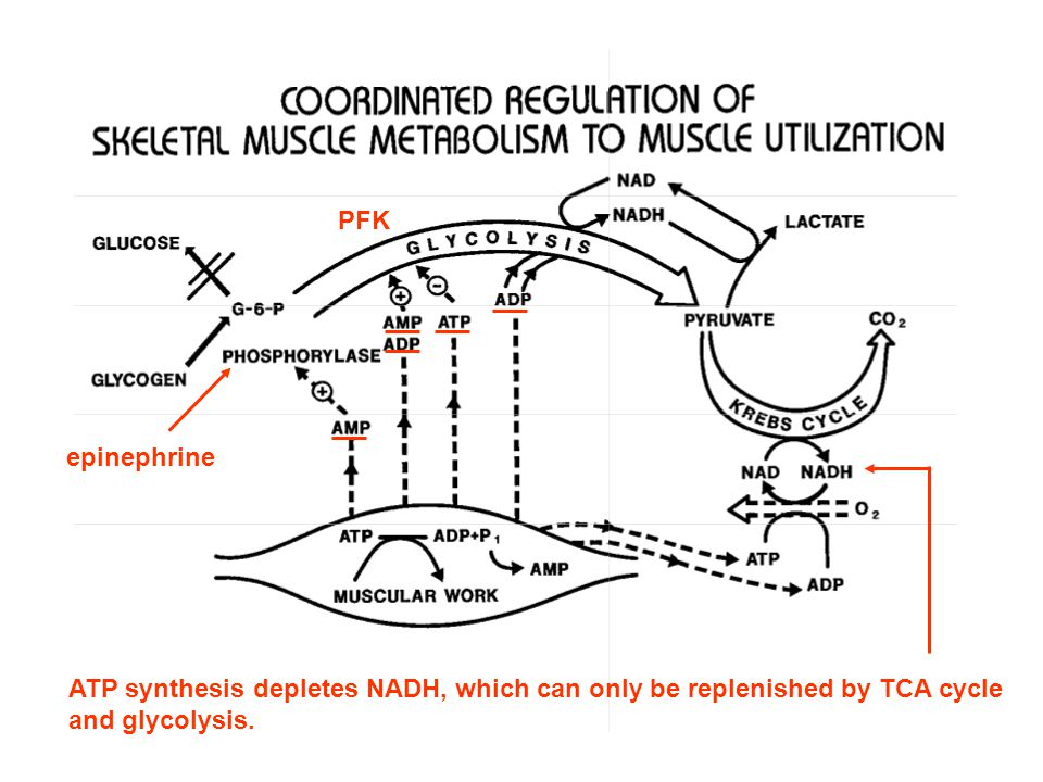Skeletal Muscle Metabolism and Work Limited levels of adenine nucleotides ensure that ADP and ATP serve as the link between muscle contraction and glycogen conversion to lactate Regulation of skeletal muscle metabolism > glycolysis only occurs if ADP is available because ADP is a required substrate > phosphofructokinase (catalyzes the 1 st irreversible step of glycolysis) controls overall glycolytic rate and is allosterically inhibited by ATP, and activated by 5-AMP and ADP > phosphorylase b can be activated by AMP > phosphorylase b conversion to phosphorylase a is regulated by epinephrine, released in anticipation of muscular activity, and by muscular activity